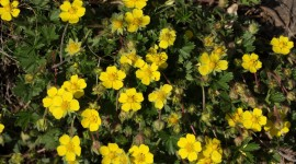 Cinquefoil Best Wallpaper