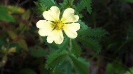 Cinquefoil High Quality Wallpaper