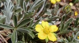 Cinquefoil Wallpaper Download