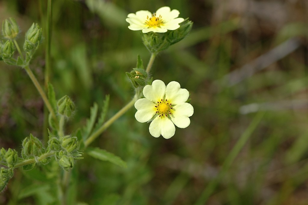 Cinquefoil wallpapers HD