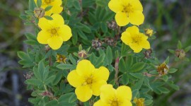 Cinquefoil Wallpaper For IPhone