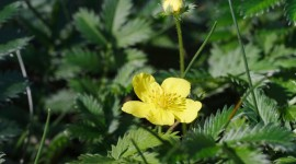 Cinquefoil Wallpaper Gallery