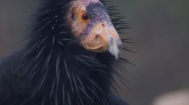Condor Photo Download