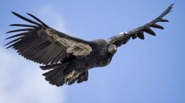 Condor Photo Free