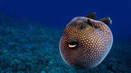Fish Fugu Desktop Wallpaper