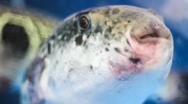 Fish Fugu Desktop Wallpaper For PC