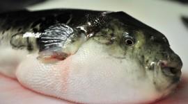 Fish Fugu Photo Free