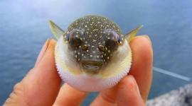 Fish Fugu Wallpaper For Desktop