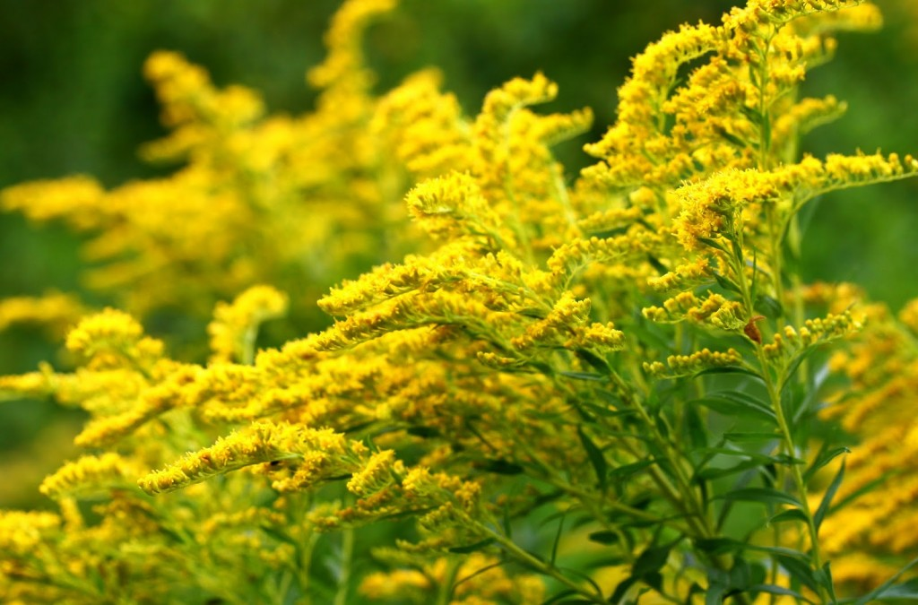Goldenrod wallpapers HD
