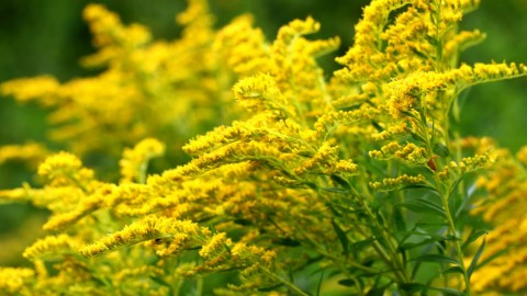 Goldenrod wallpapers high quality