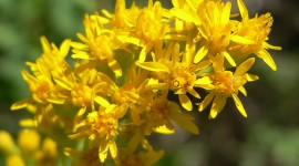 Goldenrod Photo Free