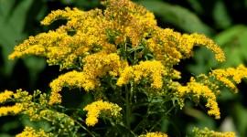 Goldenrod Wallpaper Download Free