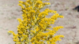 Goldenrod Wallpaper For IPhone Download