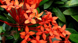 Ixora Wallpaper For Android