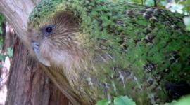 Kakapo Best Wallpaper