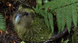 Kakapo High Quality Wallpaper