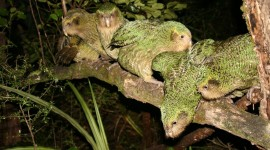 Kakapo Wallpaper