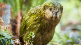 Kakapo Wallpaper Background