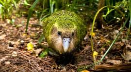 Kakapo Wallpaper For Desktop