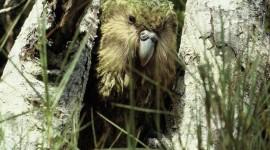 Kakapo Wallpaper For IPhone 6
