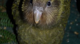 Kakapo Wallpaper For IPhone Download
