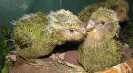Kakapo Wallpaper For PC