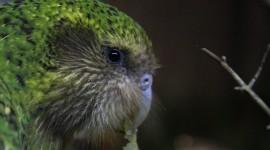 Kakapo Wallpaper Full HD