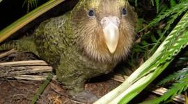 Kakapo Wallpaper Gallery