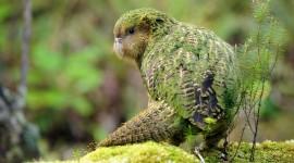 Kakapo Wallpaper HQ