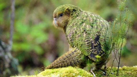 Kakapo wallpapers high quality
