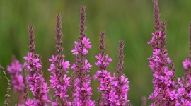 Loosestrife Photo