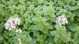 Marjoram Desktop Wallpaper For PC