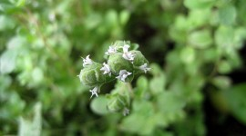Marjoram Desktop Wallpaper HD