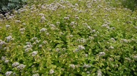 Marjoram Wallpaper Download