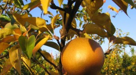 Pears Photo Download