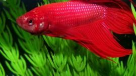 Red Fish Desktop Wallpaper For PC
