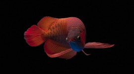 Red Fish Desktop Wallpaper HD