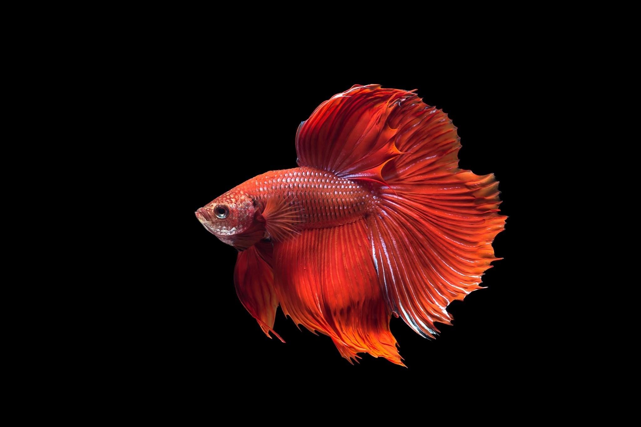 Red Fish Desktop Wallpaper