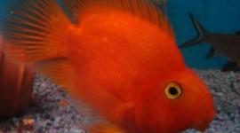 Red Fish Wallpaper 1080p