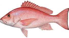 Red Fish Wallpaper Background