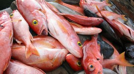 Red Fish Wallpaper Download Free