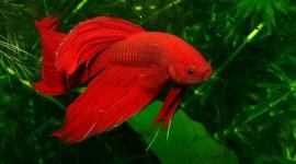 Red Fish Wallpaper For Desktop