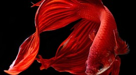 Red Fish Wallpaper For IPhone Free