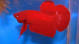 Red Fish Wallpaper For PC