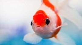 Red Fish Wallpaper Full HD