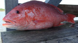 Red Fish Wallpaper Gallery