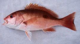 Red Fish Wallpaper HD
