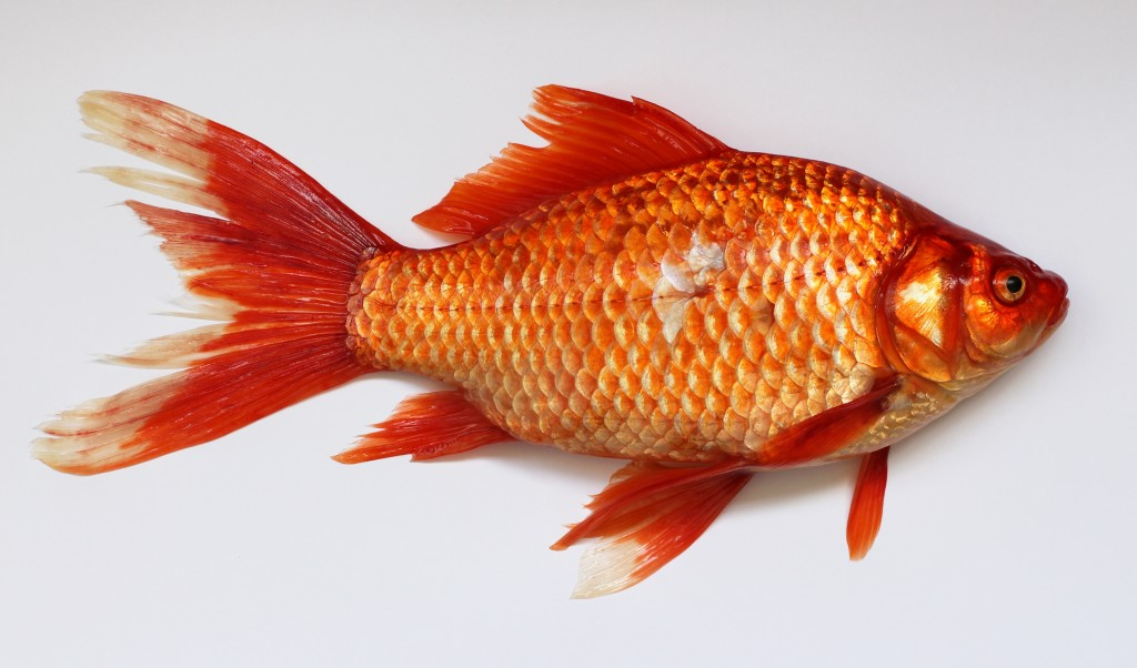 Red Fish wallpapers HD