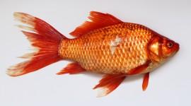 Red Fish Wallpaper HQ