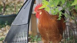 Rooster Combs Desktop Wallpaper HD